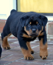 Rottweiler Vanna as a puppy