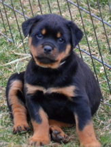Rottweiler Vanna at 7 weeks