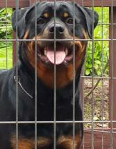 Rottweiler Vanna June 2015