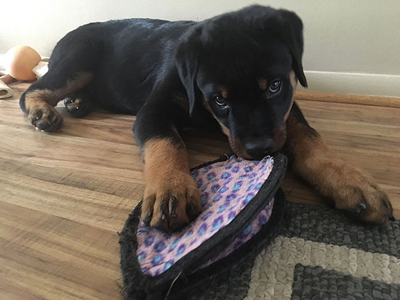 Rottweiler Von Wertz's Harry Potter as a puppy