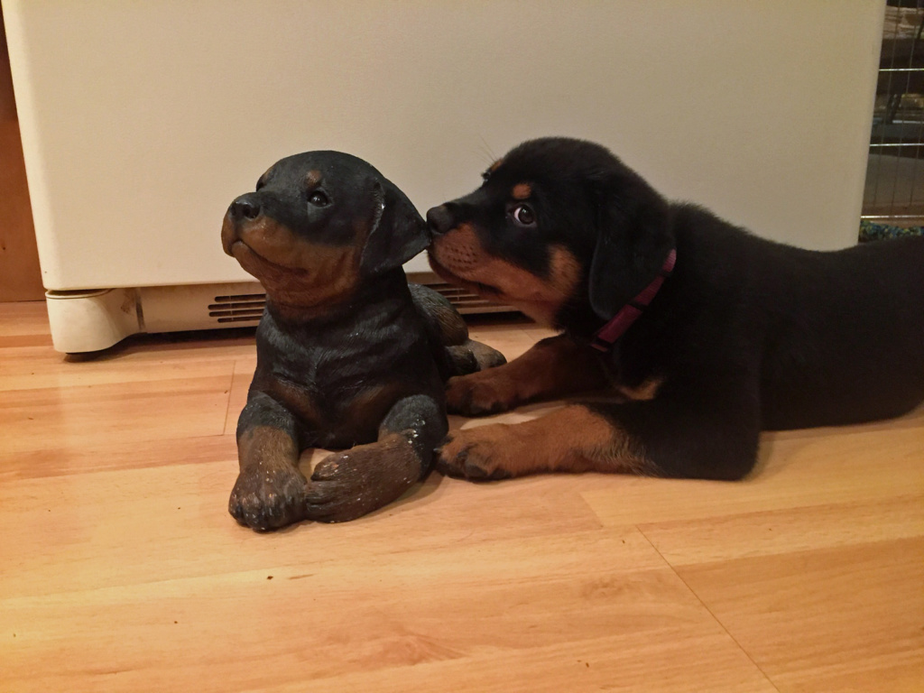 Rottweiler I'll Be There For You