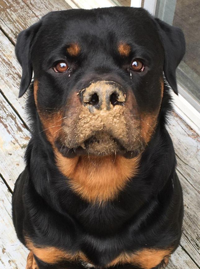 Rottweiler Von Wertz's Harry Potter likes mud!