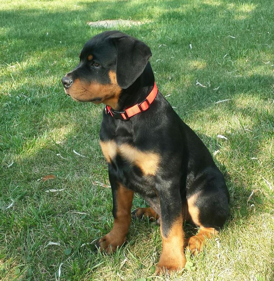 Rottweiler Von Wertz's Imperial at 3 months
